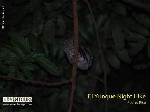 BIRDING IN PUERTO RICO - Night Owling at El Yunque National Forest