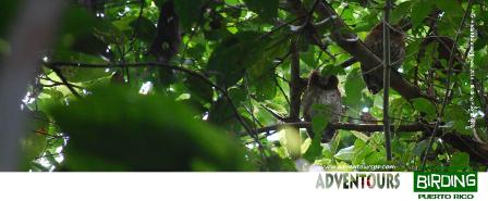 BIRDING IN PUERTO RICO - Screech Owls at El Yunque National Forest